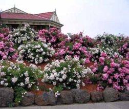 Flower Carpet Appleblossom Rose Appleblossom2